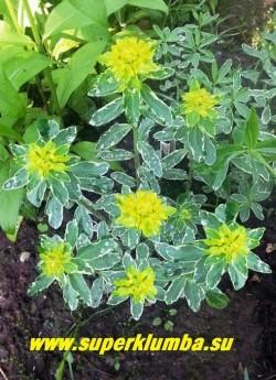 """МОЛОЧАЙ МНОГОЦВЕТНЫЙ """"Вариегата"""" (Euphorbia polychroma """"Variegata"""") сорт с нарядной пестрой листвой. На листве можно найти зеленый, голубой, кремовый и розовый цвета. Высота 30см, цветет в мае лимонно- желтыми соцветиями . Зимостоек без укрытия.  ЦЕНА 300 руб"""