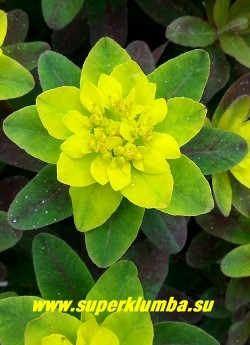 """МОЛОЧАЙ МНОГОЦВЕТНЫЙ """"Бонфайер"""" (Euphorbia polychroma """"Bonfire"""")  соцветие крупным планом. НОВИНКА! ЦЕНА 350 руб"""