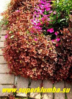 КИСЛИЦА РОЖКОВАЯ (Oxalis соrniculata) неприхотливый многолетник с декоративной бордово-красной листвой, цветет желтыми цветами, высота 15-20см, быстро разрастается на мягкой почве, хорошо смотрится как бордюр по краю клумбы, листва съедобная кислая,, подходит для украшения салатов. ЦЕНА 100 руб (3-4 шт)