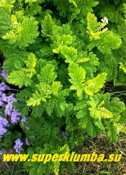 """ПИЖМА ОБЫКНОВЕННАЯ """"Криспа"""" (Tanacetum vulgare """"Crispa"""") культурный сорт пижмы  с душистыми очень кудрявыми и резными листьями, соцветия- желтые корзинки, собраны в плотное щитковидное соцветие. Цветет с июля по август.  Используют как пряность и лекарственное растение, также как средство от моли и комаров.  Высота  до 60см.  НЕТ В ПРОДАЖЕ"""
