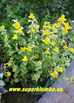 """ГУБАСТИК КРАПЧАТЫЙ """"Ричард Биш"""" (Mimulus guttatus """"Richard Bish"""") очень красивый сорт с сизозеленой листвой с белой окантовкой, розовеющей на светлом месте. Цветет в июне-июле ярко-желтыми с красными точками в зеве цветами. Высота 5-10 см, при цветении 15-25 см. ЦЕНА 350 руб (1 дел)  НЕТ НА ВЕСНУ"""