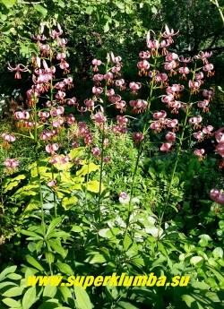 Лилия МАРТАГОН / кудреватая, саранка (Lilium martagon) величественная высокая лилия с некрупными чалмовидными, поникающими сиренево розовыми цветками до 50 на цветоносе, высота до 160 см, цветет июль, предпочитает расти в полутени, неприхотливая, но размножается медленно.  ЦЕНА 400 руб (1 лук)