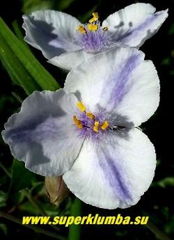"""ТРАДЕСКАНЦИЯ """"ОСПРЕЙ"""" (Tradescantia """"Osprey"""") , белая с синими  тычинками и синими лучами по центру лепестка, диаметр цветка 4 см , цв. июнь-сентябрь, выс. 35-45 см.  НОВИНКА!  ЦЕНА  150 руб (1 шт)  или 300 руб (кустик: 3-4 шт)"""