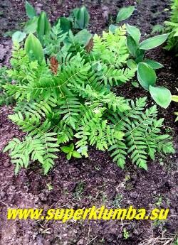 ЧИСТОУС КОРОЛЕВСКИЙ  ПУРПУРАСЦЕНС (Оsmunda regalis Purpurascens) Взрослый куст в саду. На зиму желательно профилактическое укрытие листом дуба, клена или липы.   НЕТ В ПРОДАЖЕ