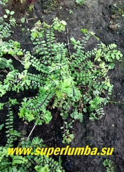 КОСТЕНЕЦ ВОЛОСОВИДНЫЙ  КРИСТАТА  (Asplenium trichomanes cristata) форма с гребешками на концах листьев, очень кудрявый. НОВИНКА!  НЕТ В ПРОДАЖЕ .