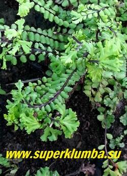 КОСТЕНЕЦ ВОЛОСОВИДНЫЙ  КРИСТАТА  (Asplenium trichomanes cristata) гребешки крупным планом.  НОВИНКА!   НЕТ В ПРОДАЖЕ .