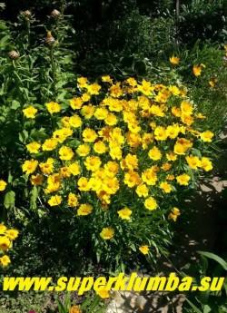 КОРЕОПСИС КРУПНОЦВЕТКОВЫЙ (Coreopsis grandiflora) яркий кустик усыпанный солнечно-желтыми цветы диаметром 5-6 см , цветет все лето с июня по сентябрь. Высота куста 50-70 см, ЦЕНА 200 руб (делёнка.)