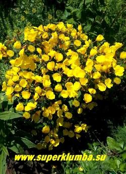 """ЭНОТЕРА  КУСТАРНИКОВАЯ """"Зонненвенде"""" (Oenothera fruticosa """"Sonnenwende"""")  Новый компактный не ползущий сорт  с  темно-красными стеблями, бутонами и бордово-зеленой листвой.  Цветы яично-желтые многочисленные,  крупные.  Высота 50-60 см. Цветет в  июне-июле. НОВИНКА!  ЦЕНА 250 руб  (1 дел)"""