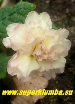 Примула бесстебельная  махровая ПИНК АЙС (Primula vulgaris Pink Ice) крупные белые с розовым румянцем густомахровые, ароматные цветы. НОВИНКА! НЕТ В ПРОДЖЕ