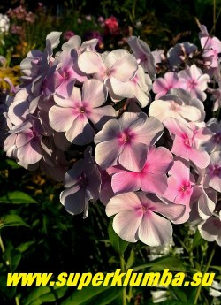 Флокс метельчатый АТЛАНТ (Phlox paniculata Atlant)  Репрёв 2001, С, 110/5, белый с лёгким розовато-сиреневым оттенком и светло-пурпурным колечком, соцветие большое и плотное, куст мощный.  ЦЕНА 300 руб  (1 шт) или 600 руб (кустик: 3-4 шт)