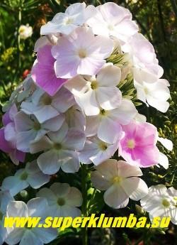 """Флокс метельчатый """"КУЛ ВАТЕР"""" (Phlox """"Cool Water"""") J.Verschoor 2009, С,  80/2.5; Флокс хамелеон-цветки распускаются практически белыми и постепенно розовеют, заполняясь сиренево-розовыми неравномерными штрихами. НОВИНКА!   ЦЕНА 300 руб (1 шт) или  600 руб  (кустик 3-4шт )"""