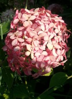 """ГОРТЕНЗИЯ ДРЕВОВИДНАЯ """"Инвинсибл спирит"""".   Цветение на молодых побегах, что позволяет использовать полную обрезку и гарантирует цветение даже в условиях холодных зим.  НОВИНКА!  ЦЕНА 500-1500 руб (3-8 летка)  НЕТ НА ВЕСНУ"""