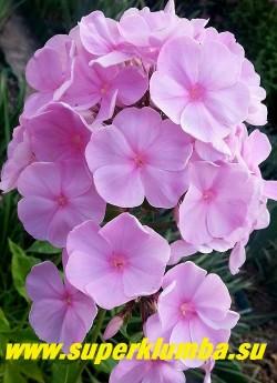 Флокс метельчатый ПИНКИ ХИЛЛ (Phlox paniculata Pinky Hill) Голландия, С, 70 /4,5. Удивительно нежный и чистый жемчужно-розовый цвет, цветок крупный, соцветие овально-коническое, плотное. Куст прочный. ЦЕНА 300 руб (1 шт) НЕТ В ПРОДАЖЕ