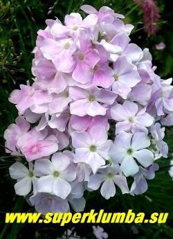Флокс метельчатый «КУЛ ВАТЕР» (Phlox «Cool Water»)  В полном роспуске.  Куст мощный,компактный, с прямыми прочными стеблями. Соцветия плотные, цветение обильное и продолжительное. НОВИНКА!   ЦЕНА 300 руб (1 шт) или  600 руб  (кустик 3-4шт )