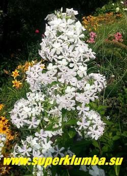 Флокс метельчатый КАСАБЛАНКА (Phlox paniculata   Casablanca) СП,   C. Jansen.,  80-100/ 2.5-3.0.    Белый,   со слабым розовым оттенком трубки,   цветки звездчатые. Соцветие очень крупное, разветвленное, ажурное. Куст сильный, многостебельный, с крепкими жесткими побегами. Легко переносит плохие погодные условия, быстро восстанавливается.  НОВИНКА!  ЦЕНА 250 руб (1 шт) или 500 руб  (куст : 3-4 шт)