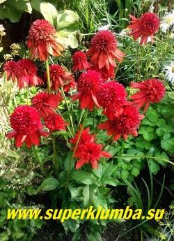 """Эхинацея """"ЭКСЦЕНТРИК"""" (Echinacea """"Eccentric"""") Цветки распускаются неодновременно, поэтому на растении наблюдается фейерверк различных оттенков. Сорт прекрасно подходит для срезки.  НЕТ В ПРОДАЖЕ"""