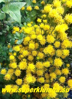 АСТРА ЗОЛОТАЯ или ЛЮТИК ЗОЛОТИСТЫЙ (Aster linosyris= Linosyris vulgaris) Невысокая астра с узкими злаковидными сидячими листьями. Образует пышные ажурные кусты усыпанные золотисто-желтыми соцветиями до 1 см в диаметре. Очень неприхотлива, засухоустойчива. Незаменима для аранжировки. Высота 50 см. Цветет в августе-сентябре. НОВИНКА! ЦЕНА 200 руб (делёнка)