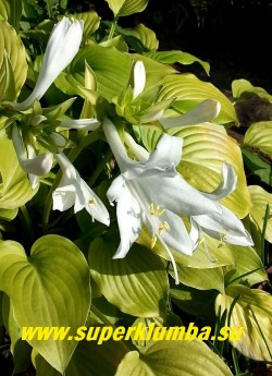 Цветы хосты РОЯЛ СТАНДАРТ (Нosta Royal Standart) . Этот сорт славится красивыми очень крупными (7-8 см в диаметре) белыми душистыми цветками с ароматом жасмина. Соцветие компактное плотное. Цветет август-сентябрь. ЦЕНА 250 руб ( 1 шт)