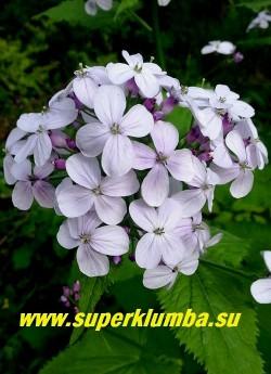 ЛУННИК ОЖИВАЮЩИЙ (Lunaria rediviva)  Цветы крупным планом.    НОВИНКА! ЦЕНА 200 руб