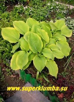 """Хоста ЕЛЛОУ СПРИНГ (Нosta """"Yellow Spring"""") На фото весной.  Весной лист лимонный с желтой каймой,  позже  окраска сливается  в чисто-желтую.  ЦЕНА 250 руб (1 шт)"""