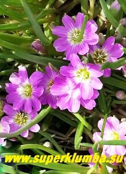 ЛЕВИЗИЯ КАРЛИКОВАЯ (Lewisia pygmaea) цветы крупным планом Морозоустойчива, но не выносит замокания. Лучшее место посадки- восточная или западная стороны альпинария. Самая неприхотливая из рода левизий. НОВИНКА! ЦЕНА 200руб