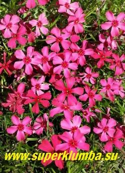 ФЛОКС ШИЛОВИДНЫЙ «Скарлет флейм» (Phlox subulata «Scarlet Flame») Вечнозелёные ковры толщиной 5-10 см, очень яркие красно-малиновые с пурпурным глазком цветы, диаметр цветка 2-2,5 см, высота 10-15 см, цветет с конца мая около 30 дней. ЦЕНА 250-300 руб НЕТ НА ВЕСНУ