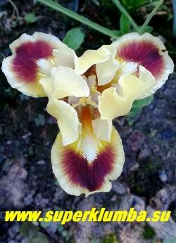 Ирис АЛТИМЕЙТ (Iris Ultimate) Стандартный карликовый. Стандарты  жёлтые, фолы -коричневые с чёткой жёлтой каймой. Бородка  жёлто-белая.  Высота 20см.НОВИНКА! ЦЕНА  200 руб