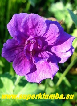 "ГЕРАНЬ ГИМАЛАЙСКАЯ ""БИЧ ДАБЛ"" (Geranium himalayense ""Birch Double"")  Цветок крупным планом. НОВИНКА!  ЦЕНА 300 руб (1 дел)"