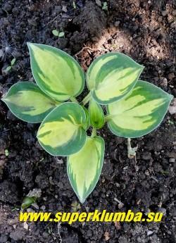 """Хоста ЧЕРИШ  (Hosta """"Cherish"""")  Размер D.   миниатюрная  хосточка с  округлыми  кремово-жёлтыми  с сине-зеленой окантовкой листьями, цветы фиолетовые. Лёгкая тень.   ЦЕНА  600 руб (1 шт)"""