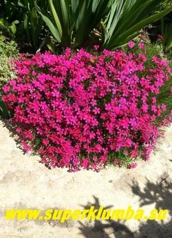 ФЛОКС ДУГЛАСА «Крэкэрджек» (Phlox douglasii «Crackerjack») этот совсем низенький флокс похож на шиловидный , но отличается более медленным темпом роста и компактностью. Цветы яркого малиново-красного тона. Цветет в мае- июне, Высота 5-10 см. НОВИНКА! ЦЕНА 200-250 руб (1 дел)