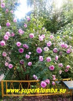 """РОЗА """"СТАРИННАЯ ПАРКОВАЯ"""".  Очень старый,  к сожалению, неизвестный мне сорт  с густомахровыми, очень ароматными сиренево-розовыми соцветиями.   Высота куста 120-200 см  цветет очень пышно, однократно в  июне-июле.  Неприхотливая, хорошо нарастает и не требует укрытия на зиму. НОВИНКА!  ЦЕНА 400-500 руб  (3-5 летка)"""