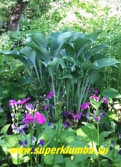 Хоста КРОССА РЕГАЛ (Hosta Krossa Regal) размер ML.  Благодаря   вертикальному  характеру роста, эта хоста отличный  фон для  более низких растений.  Нарастает довольно хорошо. ЦЕНА 250 руб