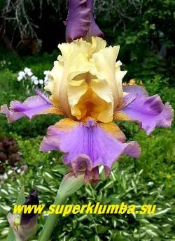 Ирис ДУДАДС (Iris Doodads). Сильно гофрирован. Верхние лепестки желтые, нижние - лавандовые с желтым основанием и коричневой каймой; оранжевая бородка заканчивается лавандовой «ложкой» или «рогом». Высота 60-70см. цветение июнь. Награды: HM-06. НОВИНКА!  ЦЕНА 400 руб (1 шт) НЕТ В ПРОДАЖЕ