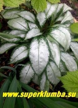 """МЕДУНИЦА """"Экскалибур"""" (Pulmonaria «Excalibur») удлиненные серебристые листья, напоминающие фольгу, с темно- зеленым окаймлением . Весенняя листва зеленая в серебряную крапинку. Цветет в апреле -мае розовыми цветами ,темнеющими до пурпурного цвета, высота 15-20 см, очень эффектная. НОВИНКА ! ЦЕНА 250 руб   (делёнка)"""