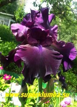 Ирис ДРАКУЛАС ШЭДОУ (Iris Dracula»s Shadow) бархатистый с  пурпурно-черными  лепестками, бородка темно-синяя, лепестки гофрированные. Среднего срока цветения. Высота 70см. Основания листьев веера пурпурные, мощный. Награды НМ-93. НОВИНКА! ЦЕНА 300 руб