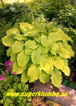 Хоста ЕЛЛОУ СПРИНГ (Нosta «Yellow Spring»)  Куст летом  чисто-желтый.  Хорошо оживляет тенистые участки сада.  ЦЕНА 250 руб (1 шт)