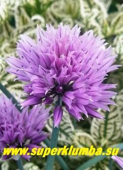 ШНИТТ-ЛУК или ЛУК СКОРОДА подвид «сибирский» (Allium schoenoprasum)    Соцветие крупным планом.  ЦЕНА 200 руб (кустик: 5-7 лук)