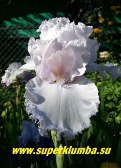 Ирис КУИН ОФ ЭНЖЕЛС  (Iris Queen of Angels) Белый  суперкружевной с чуть лавандовым тоном, бородка белая. На цветоносе из 2-3   ветвей до 11 бутонов. Высота  90 cм. Цветение в июне, устойчив к болезням. НАГРАДЫ: НМ-97, АМ-99. НОВИНКА! ЦЕНА 400 руб  НЕТ В ПРОДАЖЕ
