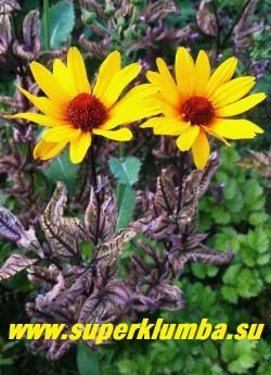 """ГЕЛИОПСИС ПОДСОЛНЕЧНИКОВИДНЫЙ """"Саммер Пинк"""" (Heliopsis """"Summer Pink"""")  цветы крупным планом.  НОВИНКА! ЦЕНА 350 руб (делёнка)"""