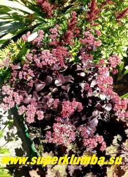 "ОЧИТОК ТЕЛЕФИУМ ""ПИКОЛЕТТЕ"" (Sedum telephium ''Picolette'') на фото окраска  при посадке на полном солнце в стадии цветения.  ЦЕНА 200 руб (1 деленка)"