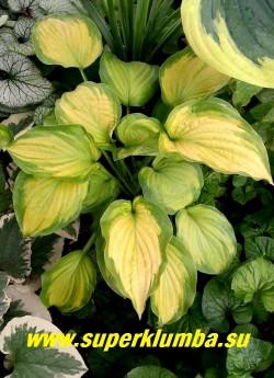 Хоста «ОЛД ГЛОРИ (Hosta «Old Glory») Размер M-L . Сердцевидные листья, в начале лета лимонные, затем желто-оранжевые с сине-зелёной перьевидной каймой, цветы лавандовые. Полутень. НОВИНКА! ЦЕНА 350 руб (1 шт)