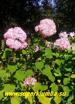"""ГОРТЕНЗИЯ ДРЕВОВИДНАЯ """"Инвинсибл спирит"""" (Hydrangea arborescens """"Invisible Spirit"""") Округлые соцветия стерильных цветков распускаются тёмно-розовыми и изменяют окраску на ярко-розовые.  На фото 5-летний куст. Цветет с июня по сентябрь. Высота 1-1,5 м. НОВИНКА!  ЦЕНА 500-1500 руб (3-8 летка)  НЕТ НА ВЕСНУ"""