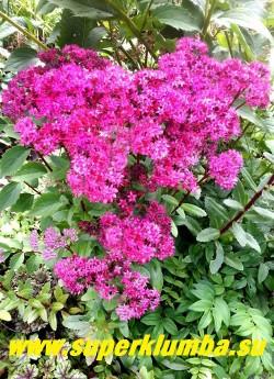 """ОЧИТОК  ГИБРИДНЫЙ """"МИСТЕР  ГУДБАД"""" (Sedum hibridum 'Mr. Goodbud') новый  очень эффектный сорт с очень крупными шапками сочных пурпурно-малиновых цветов на крепких пурпурно-красных стеблях. Листва серо-зеленая.   Цветение август-сентябрь. Высота 40-60 см. НОВИНКА!  ЦЕНА 200 руб (1 деленка)"""