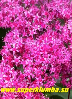 """ОЧИТОК  ГИБРИДНЫЙ """"МИСТЕР  ГУДБАД"""" (Sedum hibridum 'Mr. Goodbud') цветы крупным планом.   Длительное и яркое цветение.  НОВИНКА!  ЦЕНА 200 руб (1 деленка)"""
