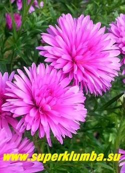 АСТРА КУСТАРНИКОВАЯ «СТАРЛАЙТ» (Aster dumosus «Starlight») цветы крупным планом. НОВИНКА! ЦЕНА 200 руб (делёнка)