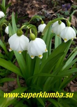 БЕЛОЦВЕТНИК ВЕСЕННИЙ (Leucojum vernum) крупные ароматные белые с желтыми пятнышками на концах лепестков колокольчатые цветки, собраны по 1-2 на цветоносе, широкая ремневидная листва, высота с цветоносами до 20 см, цветет с апреля 20-30 дней, ЦЕНА 250 руб (1 шт)