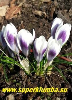 """КРОКУС ЗОЛОТИСТЫЙ  """"ЛЕДИ КИЛЛЕР"""" (Crocus  chrysanthus LADY KILLER)  Цветы белые внутри и   снаружи    темно-фиолетовые с   темно-серо-голубым небольшим пятном в основании и белой каймой.   Цветет обильно и долго,  почти весь апрель.  НОВИНКА!  ЦЕНА 50 руб  (1 шт)"""