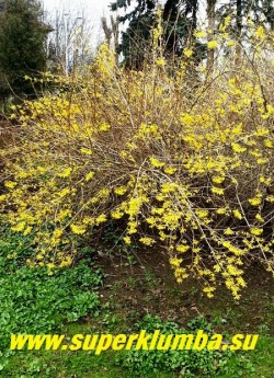 ФОРЗИЦИЯ  (Forsythia)  самый раннецветущий  кустарник,   усыпанный весной многочисленными  ярко-желтыми  цветами  похожими на колокольчики.  Высота до 3 м.  Цветение  в апреле-мае.  В суровые зимы может подмерзать.  НОВИНКА!  ЦЕНА 350 руб  (3-х летки)
