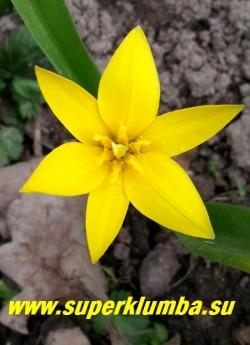 Тюльпан ОДНОЦВЕТКОВЫЙ (Tulipa uniflora) ботанический, природный вид, изящные звездчатые ярко-желтые цветы диаметром 4-5 см, зеленая узкая листва. Высота 15-20 см, ранний.  НОВИНКА!  РЕДКОЕ!  ЦЕНА 120 руб (1 лук)
