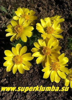 АДОНИС ВЕСЕННИЙ (Adonis vernalis)  Цветы крупным планом. НОВИНКА! ЦЕНА  650 руб (делёнка)
